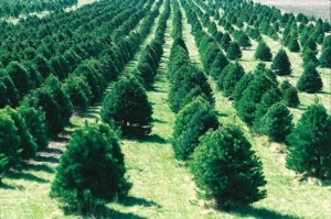 Christmas tree farm in Iowa. Photograph by Wikimedia, distributed under a CC-BY 2.0 license